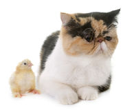 Tricolor exotic shorthair cat and chick. In front of white background stock photo