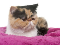 Tricolor exotic shorthair cat. In front of white background royalty free stock photography