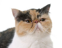Tricolor exotic shorthair cat. In front of white background stock photo
