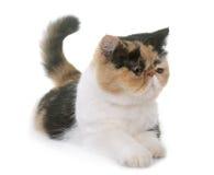 Tricolor exotisk shorthairkatt Arkivfoton