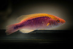 Tricolor felik Wrasse Royaltyfria Foton
