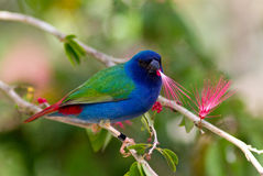 tricolor finchpapegoja Arkivfoton