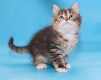 Tricolor fluffig kattunge som ser upp med intresse Fotografering för Bildbyråer