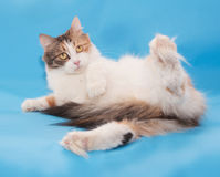 Tricolor fluffy cat fell and lay Stock Image