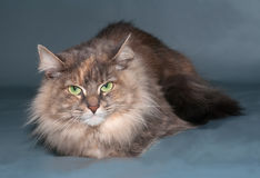 Tricolor fluffy cat with green eyes lying on gray Stock Photography