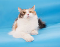 Tricolor fluffy cat lies Royalty Free Stock Photography