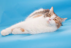 Tricolor fluffy cat lies Royalty Free Stock Photos