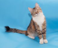 Tricolor fluffy cat sits Royalty Free Stock Photo