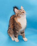 Tricolor fluffy cat sits Royalty Free Stock Photos