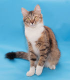 Tricolor fluffy cat sits Royalty Free Stock Image