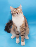 Tricolor fluffy cat sits Royalty Free Stock Images