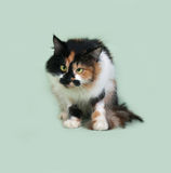 Tricolor fluffy cat with squinting eyes sitting on green Royalty Free Stock Photo