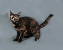 Tricolor fluffy cat stuck her tongue out and sitting on gray Stock Photo
