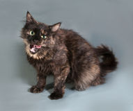 Tricolor fluffy cat stuck her tongue out and sitting on gray Royalty Free Stock Image