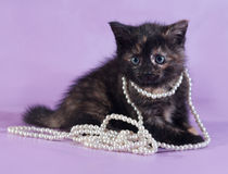 Tricolor fluffy kitten with beads around neck sits on purple Royalty Free Stock Photo
