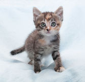 Tricolor fluffy kitten carefully sneaks up Stock Photo