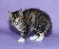 Tricolor fluffy kitten frightened arched his back on violet Stock Image