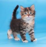 Tricolor fluffy kitten goes forward Stock Photos