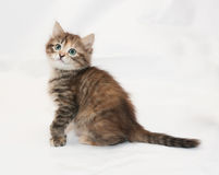Tricolor fluffy kitten looking up sitting Royalty Free Stock Photos
