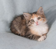 Tricolor fluffy kitten lying on blue Royalty Free Stock Images