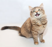 Tricolor fluffy kitten meowing sitting Royalty Free Stock Images