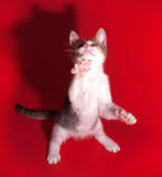Tricolor fluffy kitten playing on red Royalty Free Stock Photos