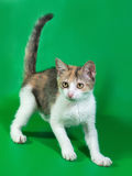 Tricolor fluffy kitten plays on green Stock Images