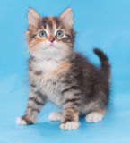 Tricolor fluffy kitten sits anxiously looking up. On blue background Royalty Free Stock Images