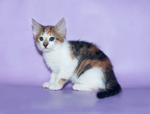 Tricolor fluffy kitten sits anxiously on violet. Background Royalty Free Stock Images