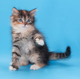 Tricolor fluffy kitten sits Stock Photography