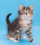 Tricolor fluffy kitten sits pensively looking up Stock Photography