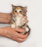 Tricolor fluffy kitten sitting in hand on gray Royalty Free Stock Photography