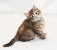 Tricolor fluffy kitten sitting head cocked Royalty Free Stock Photography