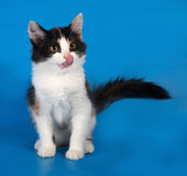Tricolor fluffy kitten sitting and licked on blue Stock Photography