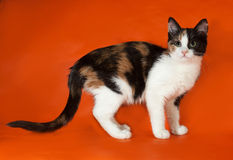 Tricolor fluffy kitten standing on orange Royalty Free Stock Photo