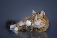 Tricolor fluffy Siberian cat isolated on a gray background Stock Images