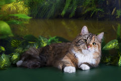 Tricolor fluffy Siberian cat in the rainforest Royalty Free Stock Photos