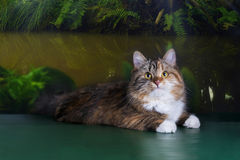 Tricolor fluffy Siberian cat in the rainforest Stock Images