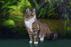 Tricolor fluffy Siberian cat in the rainforest Royalty Free Stock Photo