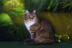 Tricolor fluffy Siberian cat in the rainforest Stock Photos