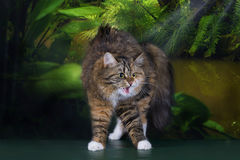 Tricolor fluffy Siberian cat in the rainforest Stock Image