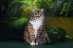Tricolor fluffy Siberian cat in the rainforest Royalty Free Stock Image