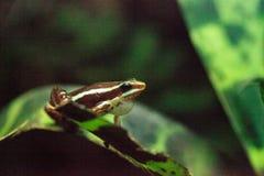 Tricolor giftpilgroda tricolor Epipedobates Arkivfoto