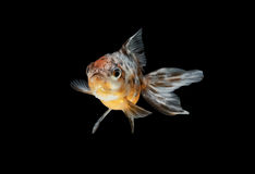 Tricolor gold fish isolate Stock Photography