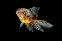tricolor gold fish isolate Royalty Free Stock Photography