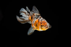 Tricolor gold fish isolate Stock Images