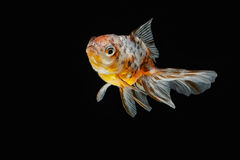 Tricolor gold fish isolate Royalty Free Stock Image
