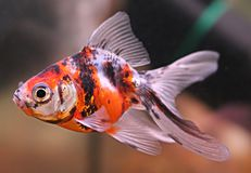 Tricolor goldfish in the aquarium. A goldfish in an aquarium with red black white spots and transparent fins Stock Photography