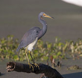 Tricolor Heron Royalty Free Stock Photography