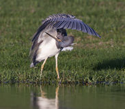 Tricolor Heron Royalty Free Stock Photo
